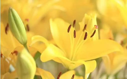 冬天的百合也会开花,闻着这冬天的百合香,顿觉心情愉快。