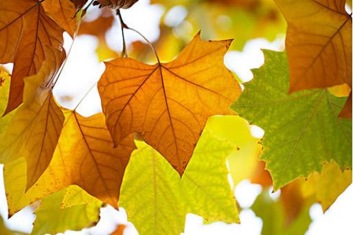 梧桐叶里见证的秋天