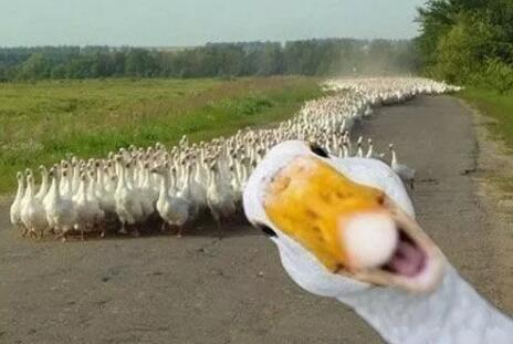 从乡下来了两只鸭