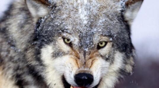 《狼的智慧》对狼又有了一个新的认识。