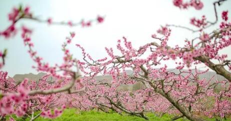安宁桃花会