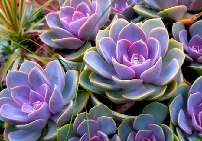 多肉植物紫珍珠